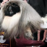 Peke of Perfection?